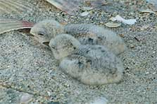 Two New Zealand fairy tern chicks in nest.